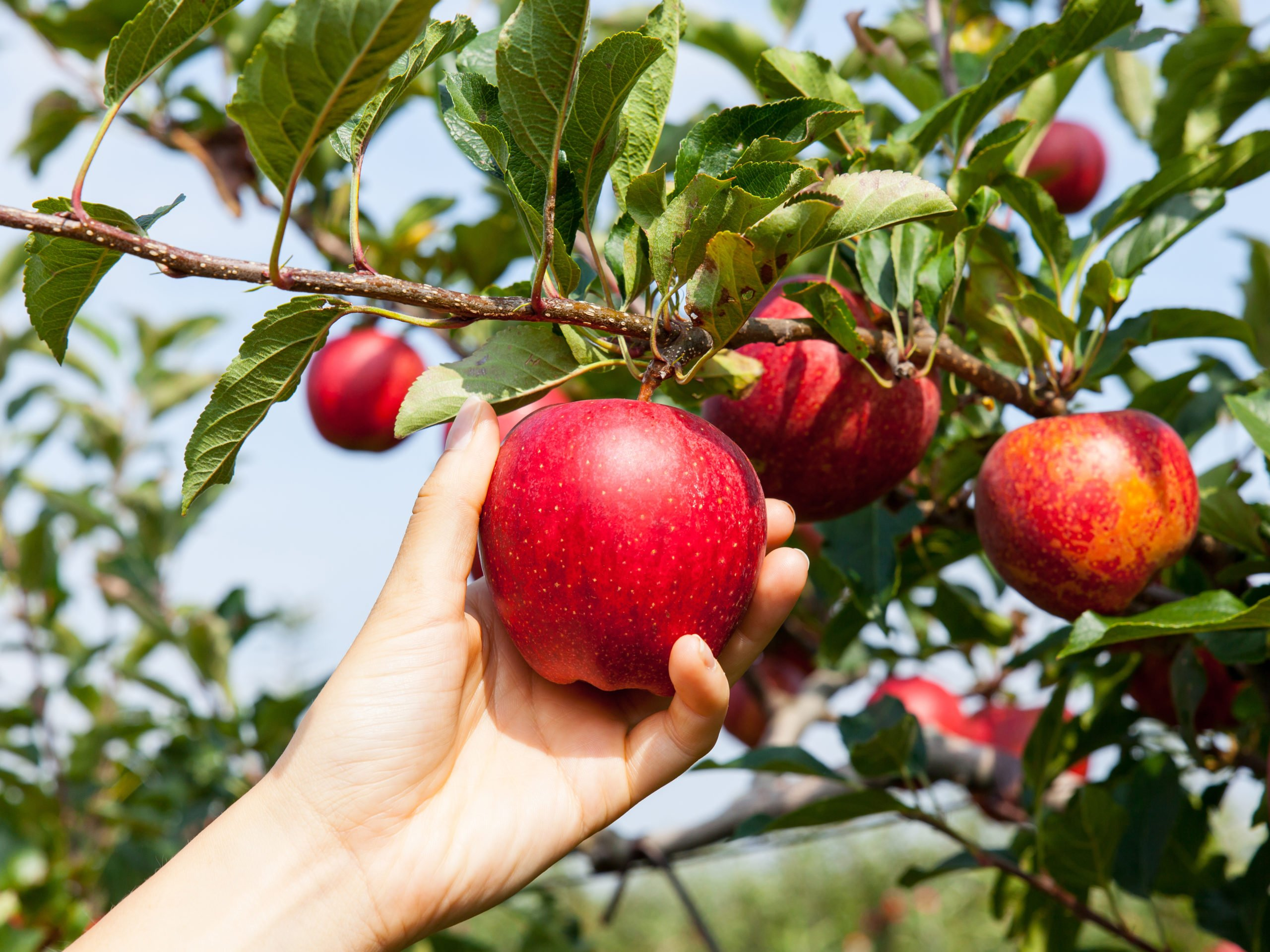 Apples Fruits & Juice – Good for Your Heart! Read Benefits